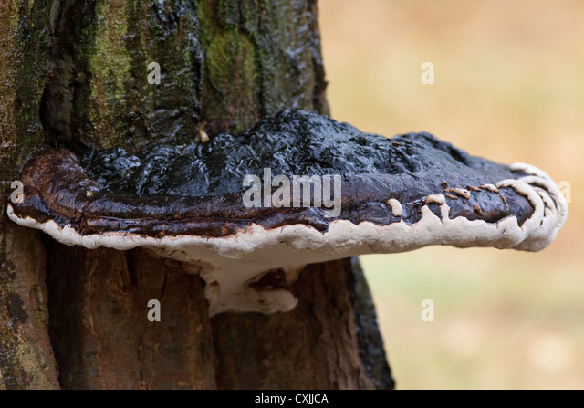 fungi growing on a tree, UK - Stock Image