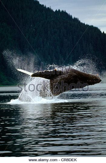 Humpback Whale, Pt. Adolphus, Southeast Alaska - Stock Image