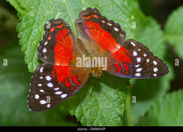 Red Anartia butterfly, Tobago - Stock Image