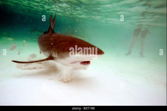 Caribbean reef shark Latin Name: Carcharhinus perezi with in rear bather.  bahamas atlantic ocean - Stock Image