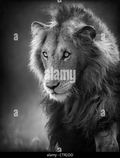 Male Lion Portrait (Artistic processing) - Kruger National Park - South Africa - Stock-Bilder