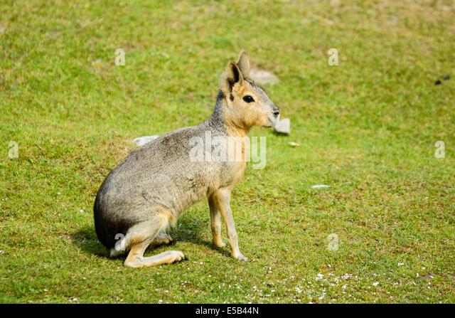 Dolichotis patagonum or Patagonian mara, here seen on sunlit grass. - Stock Image