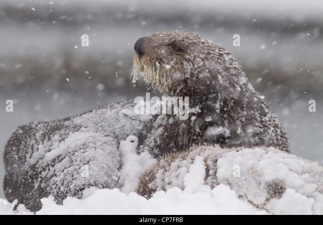 Snowcovered sea otter mother with young pup during a blizzard in Prince William Sound, Southcentral Alaska, Winter - Stock Image
