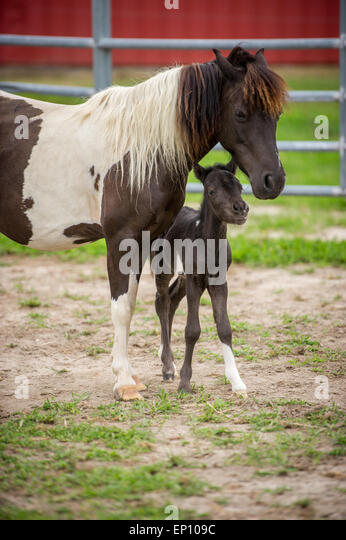 Mother horse with her foal near Hurlock, Maryland, USA - Stock Image