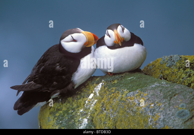 Horned Puffin pair perched on ledge, Round Island, Walrus Islands State Game Sanctuary, Bristol Bay, Southwest Alaska - Stock Image