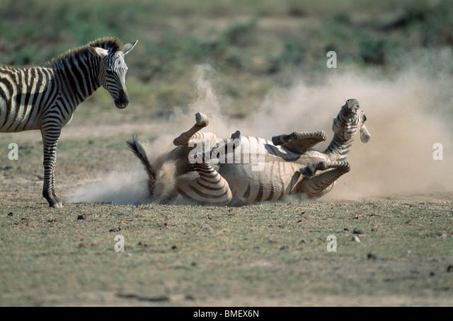 Zebra rolling in the dust, her calf looking on, Amboseli, Kenya - Stock Image
