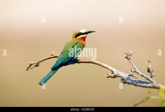 WHITE FRONTED BEE EATER Merops bullockoides - Stock Image