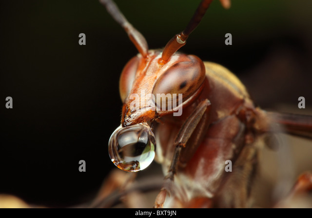 Red wasp above the nest with water bubble drop. - Stock Image