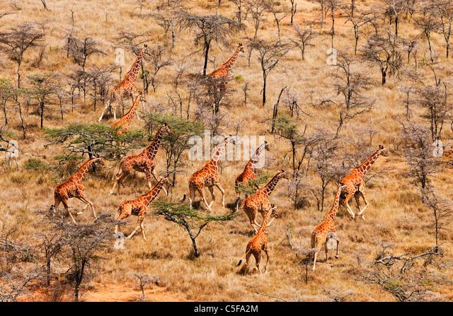 Aerial view of Reticulated Giraffe (Giraffa camelopardalis reticulata) in Kenya. - Stock Image