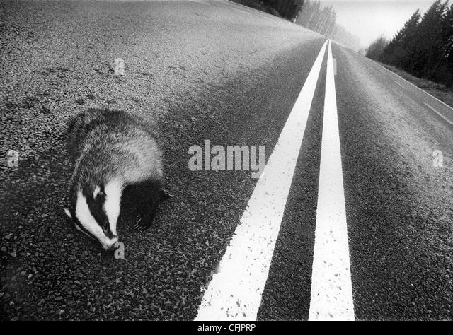 Stripes, road-killed badger at double road lines, Sweden - Stock-Bilder