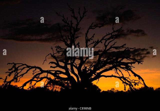 Spooky dead tree silhouetting against sunset. - Stock-Bilder