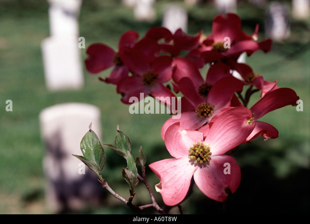 Dogwood tree flowers at Arlington National Cemetery - Stock Image