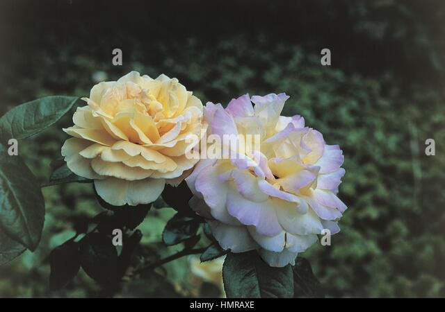rose flower gloria dei stock photos rose flower gloria. Black Bedroom Furniture Sets. Home Design Ideas