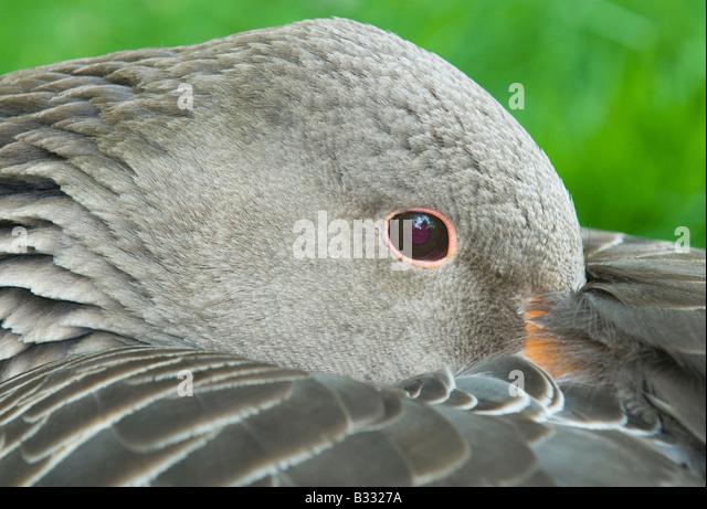 Greylag Goose Anser anser Cley Norfolk April - Stock-Bilder