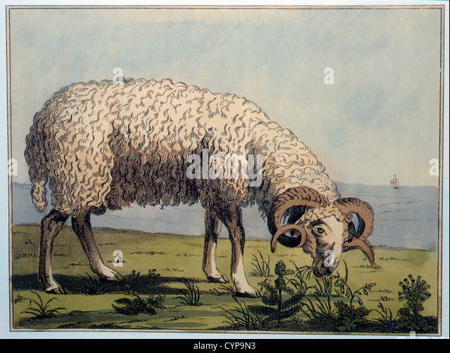 Crimean Sheep, Hand-Colored Engraving, P.S. Pallas, Travels Through Southern Provinces of the Russian Empire, 1793 - Stock Image