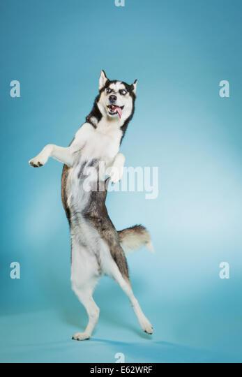 Siberian husky dancing on two feet - Stock Image