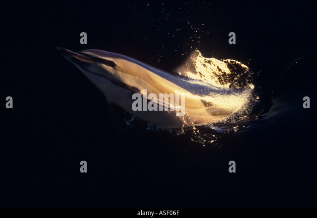 Common dolphin Delphinus delphis leaping out of sea on its side at dusk Next to yacht Bay of Plenty New Zealand - Stock Image