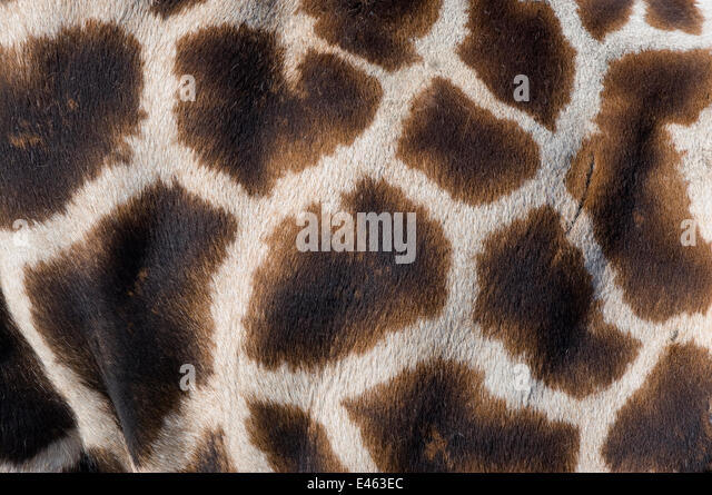 Rothschild's giraffe (Giraffa camelopardalis rothschildi) close up of young calf skin pattern, captive - Stock Image