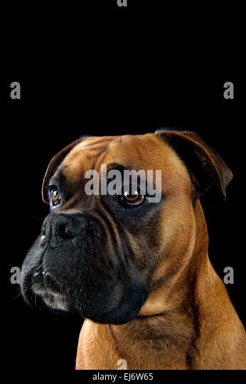 Beautiful portrait of a boxer dog on black background - Stock Image