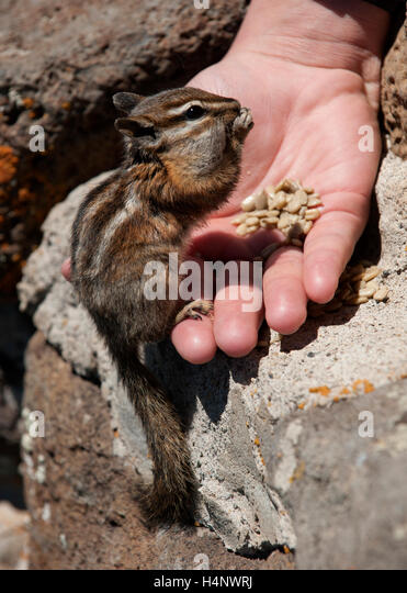 A young woman risks her future, and possibly her life, by hand-feeding a wild chipmunk. - Stock Image
