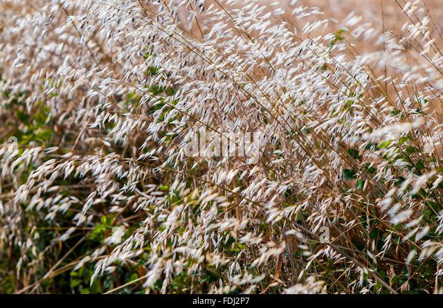 Ripe Oats - Avena sativa cereal - France. - Stock Image