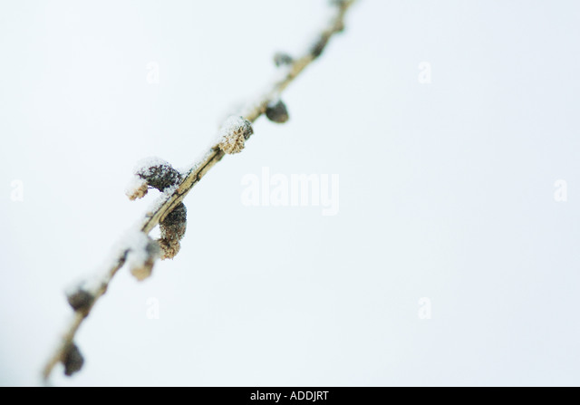 Snow-covered stem - Stock Image