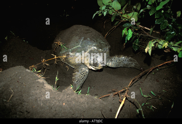 Costa Rica Tortuguero green turtle leaving after nesting - Stock Image