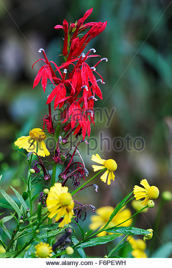 Cardinal Flower and Sneezeweed - Stock Image