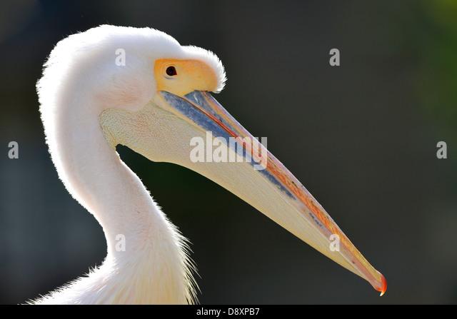 Rose's pelican Pelecanus onocrotalus, portrait, - Stock Image
