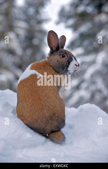 Domestic Rabbit male, sitting in snow - Stock Image