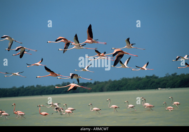 Flamingos, Celestun National Wildlife Refuge, Yucatan, Mexico, North America - Stock-Bilder
