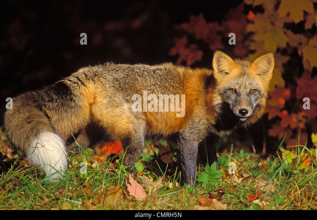 Tk0643, Thomas Kitchin; Red Fox In Autumn Maples. Cross Colour Phase. Minnesota. Vulpes Vulpes. - Stock Image