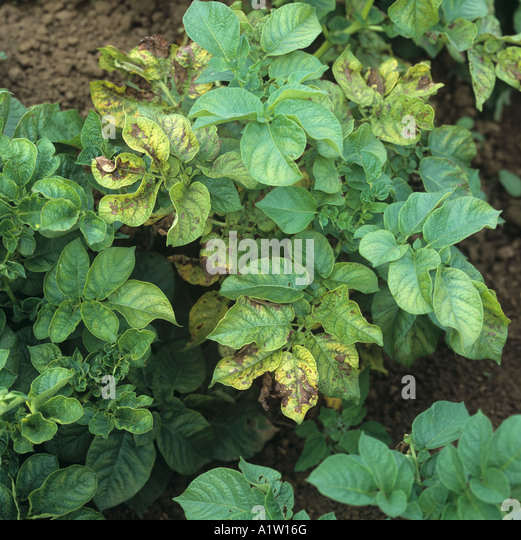 Magnesium deficiency symptoms on some potato leaves in this organic crop - Stock Image