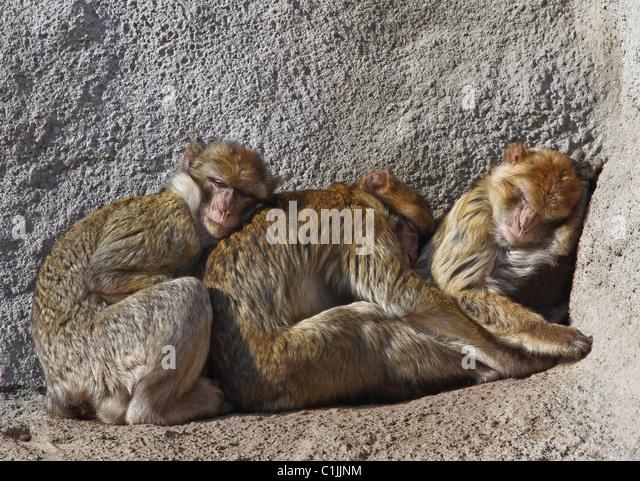 Monkeys huddle together in the cold. - Stock-Bilder
