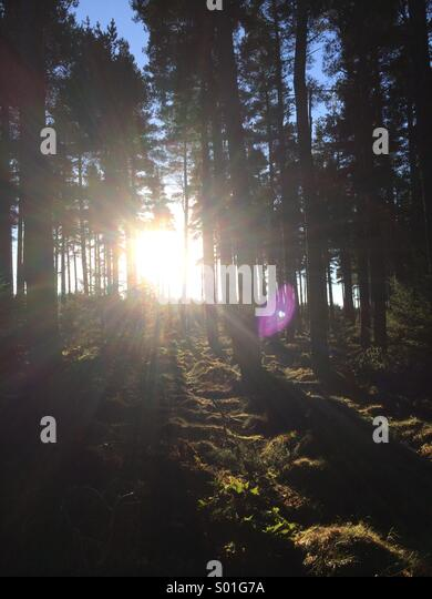 Sunlight shining through pine trees in a forest in Northumberland, England. - Stock Image