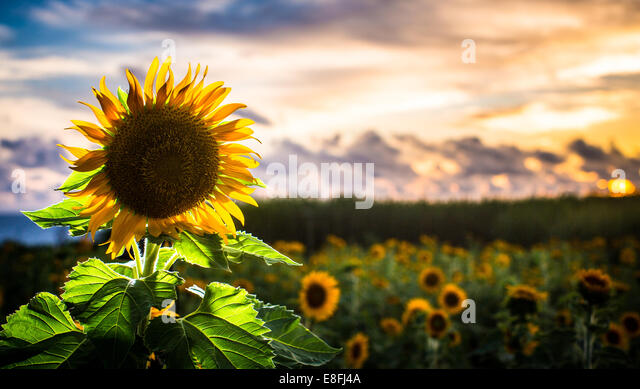 Japan, Okinawa, Backlit sunflower with sunset - Stock Image