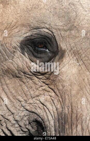 African elephant eye (Loxodonta africana), Addo Elephant National Park, South Africa, Africa - Stock Image