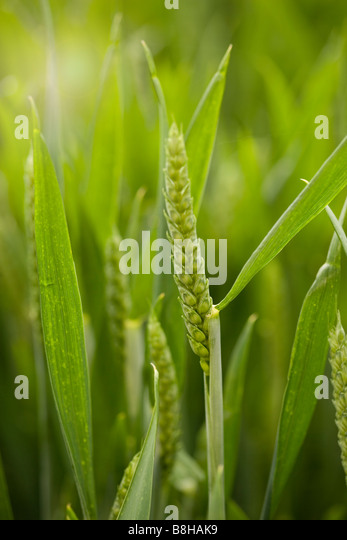 Close up of wheat growing in a field - Stock Image