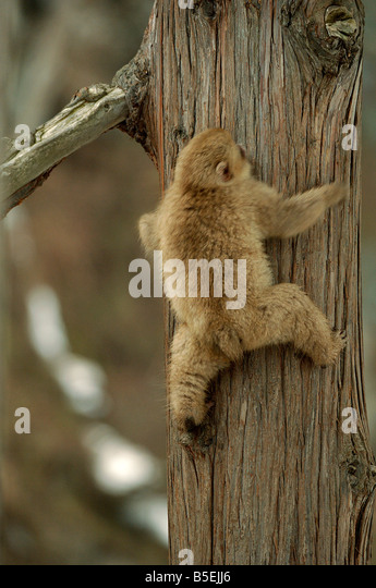 Japanese macaque or snow monkey Macaca fuscata climbing tree series 2 of 3 - Stock Image