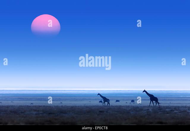 Giraffes (Giraffa Camelopardalis) walking over flat open plains with sunset. Etosha National Park (Namibia) - Stock Image