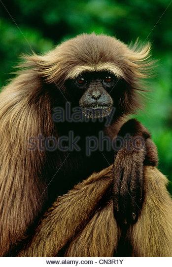 Gray gibbon, Borneo, Indonesia - Stock Image