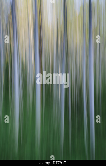 Alder tree forest abstract, blurred motion, Olympic NP - Stock Image