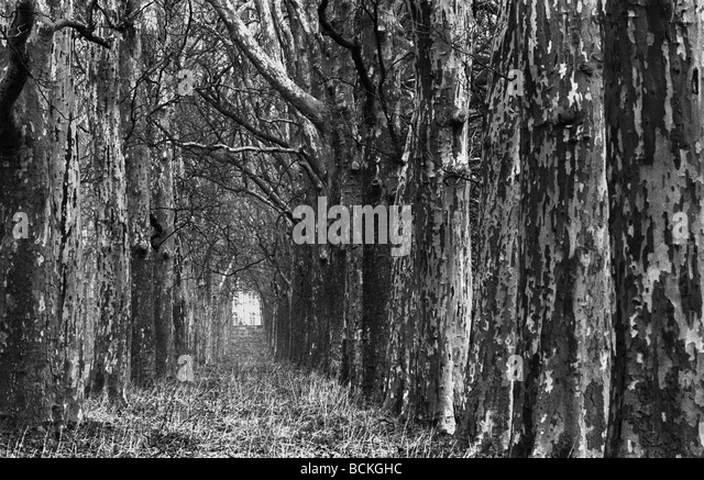 Alley of trees, b&w - Stock Image