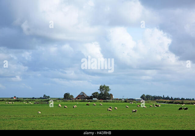 The Netherlands, Noordholland, Edam cheeses, pasture, sheep, - Stock Image