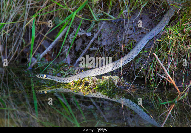 grass snake (Natrix natrix), at brookside, Germany, Bavaria, Oberpfalz - Stock Image