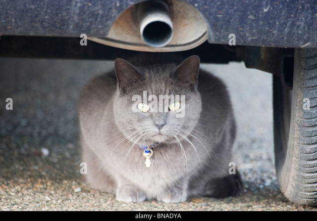 Cat under a car. - Stock Image