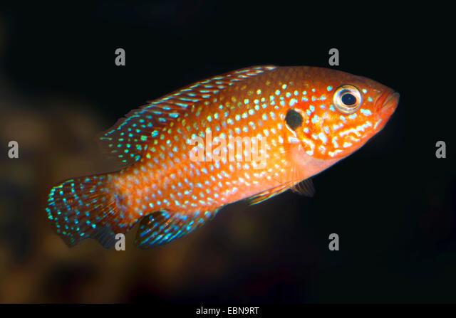 Blood Red Jewel fish, Blood Red Jewel (Hemichromis lifalili), swimming - Stock Image