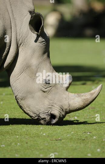 square-lipped rhino - Stock Image