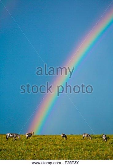 Kenya, Rift Valley Province, Maasai Mara, burchells zebra (equus burchellii) in front of a rainbow - Stock Image