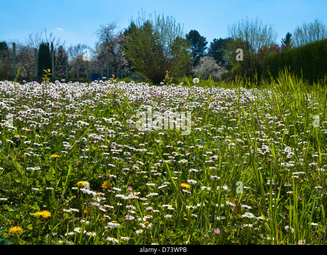 Garden daisies - France. - Stock Image